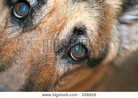 Shephard Eyes