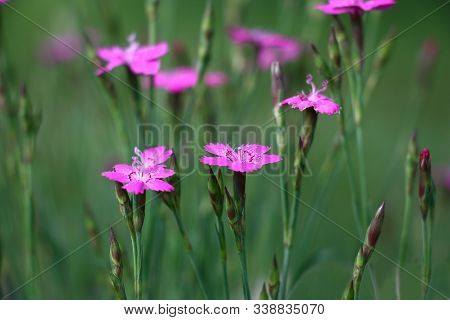 On A Green Background Rare Pink Flowers And Buds Of A Dianthus Deltoids.
