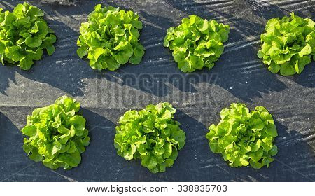 Lettuce Patch Covered With Plastic Mulch Used To Suppress Weeds And Conserve Water.