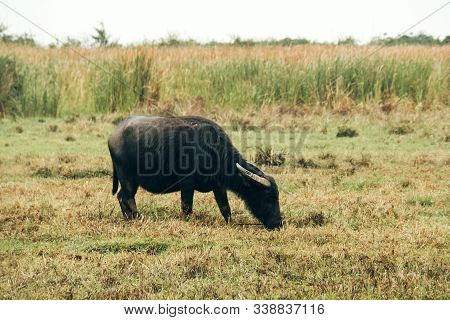 Buffalo In The Countryside Of Thailand, Buffalo Eating Grass In Rice Field, Lifestyle Of Buffalo In