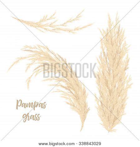 Pampas Grass Golden. Vector Illustration. Panicle Cortaderia Selloana South America