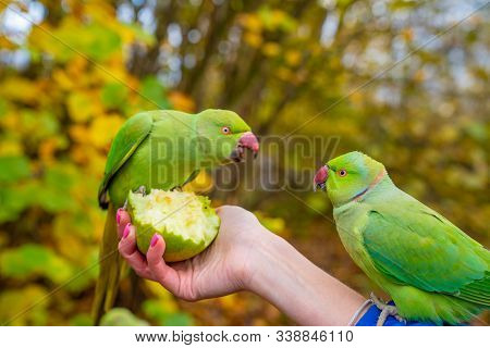 Hand Holding A Green Parrot, Feeding It With An Apple. Beautiful Parrots In London.