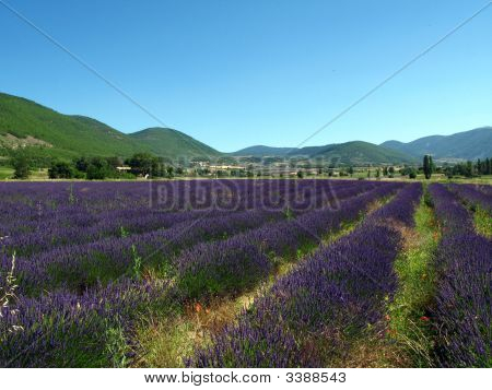 Lavendin Fields For Essential Oils