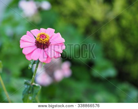 Pink Gerbera , Barberton Daisy Flower On Burred Of Nature Background Space For Copy Write