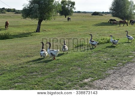 Geese Graze On Grass In A Village Or On A Ranch. Flock Of Domestic Geese Walks And Grazes In The Cor