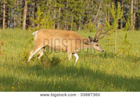 Mule deer (odocoilus hemionus) in Yellowstone