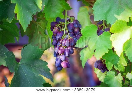 Ripe Purple Grapes In The Vineyard. Harvest Ripe Fruit. Utumn Harvest. Ripe Grapes In Fall Season