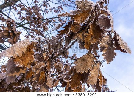 Yellow Leaves Covered With Ice Hang On A Tree Branch. Sudden Cooling. Weather Forecast.