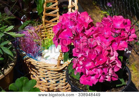 Easter Eggs Sitting In Basket With Pink Hydrangias