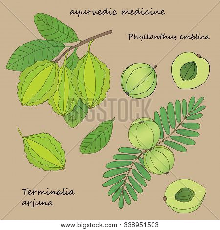 Medicinal Herbs Collection. Vector Hand Drawn Illustration Of Plants Phyllanthus Emblica And Termina