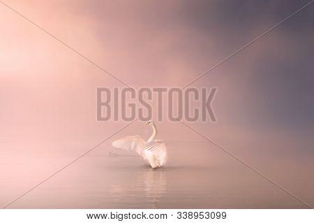 Mute Swan Cygnus Olor Gliding Across A Mist Covered Lake At Dawn. Amazing Morning Scene, Misty Morni