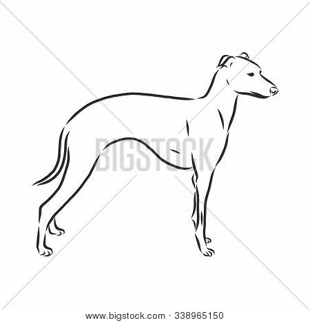 Greyhound, Showing Male Dog, Engraved Illustration, Sketch