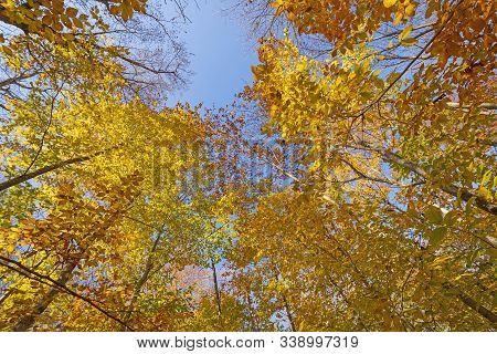 Looking Up To The Autumn Colors In Adirondack State Park In New York