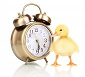 Duckling and alarm clock isolated on white poster