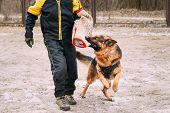German shepherd dog training. Biting dog. Alsatian Wolf Dog. Deutscher, dog poster