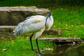 portrait of a black headed oriental white ibis, Near threatened bird specie from Indonesia poster
