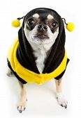 Cute Chihuahua dressed as Honey Bee on white background poster