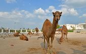 Camels in Camel Souq, Waqif Souq in Doha, Qatar, poster