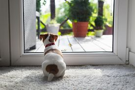 Jack russel terrier puppy sitting near door on white carped on the floor. Small perky dog. Animal pets concept