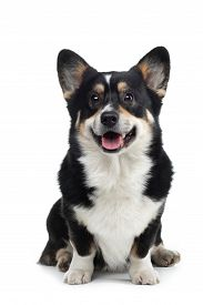 Portrait Of A Dog On A White Background. Smiling Welsh Corgi Pembroke . Pet In The Studio. For Desig