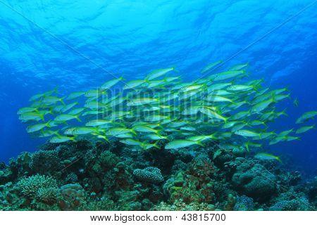 Fish School: Yellowfin Goatfish on Red Sea reef poster