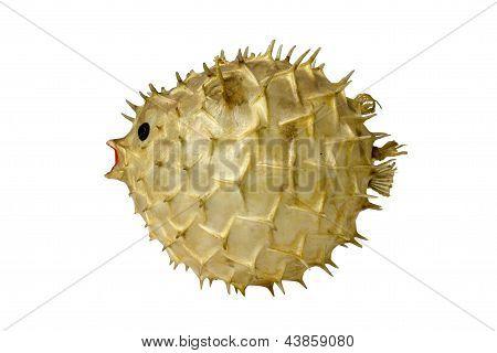 Globefish Stuffing