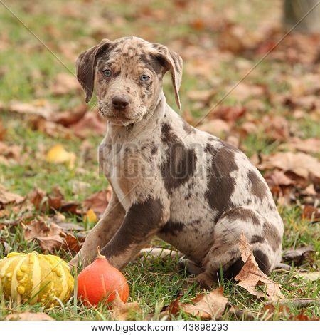 Louisiana Catahoula Puppy In Autumn