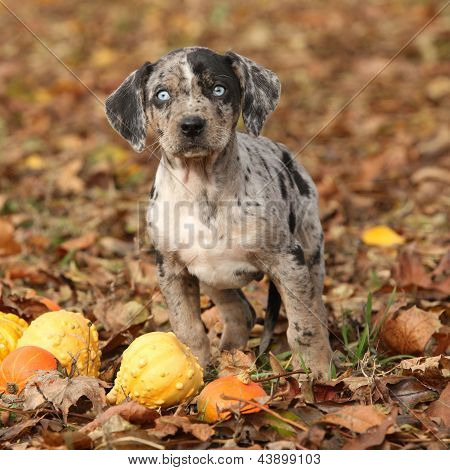 Louisiana Catahoula Puppy With Pumpkins In Autumn