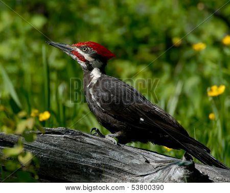 Pileated Woodpecker on Log
