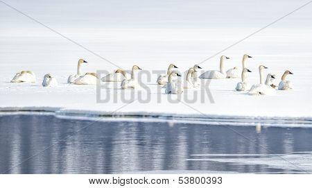 Tundra Swans on Snowy Lake