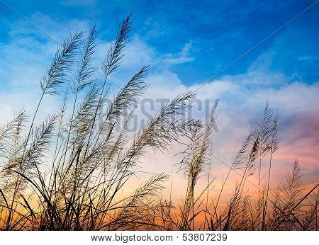 Flowering Of Grass