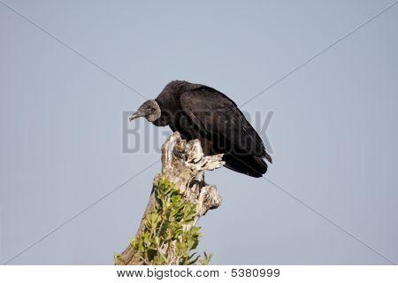 Perched Black Vulture