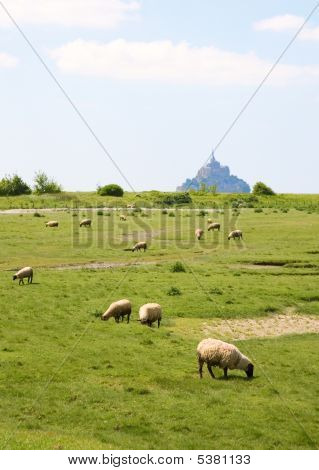 Sheep on a field near the Mont Saint-Michel rocky tidal island in Normandy France poster