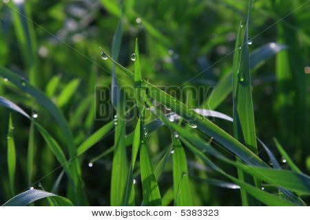 Morning Dew On A Green Grass
