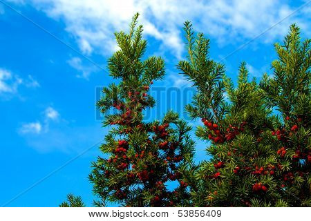 autumn tree with red berries