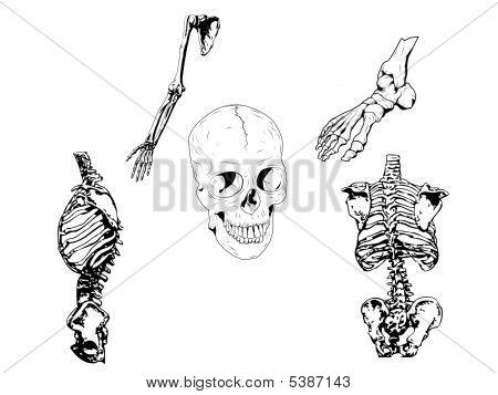 Human Skeleton Drawing Illustration