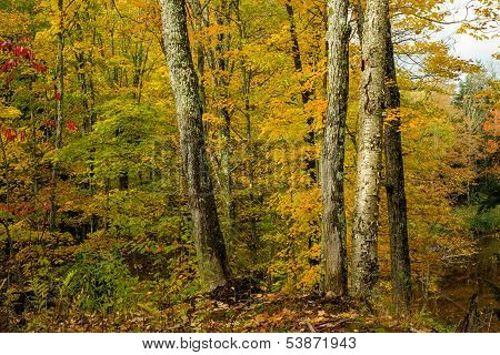 Maple And Birch Forest, Autumn