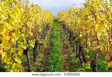 Colors Of The Vineyard In Autumn
