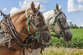 An unmatched team of draft horses in harness on the farm. poster