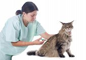 portrait of a purebred maine coon cat and vet poster