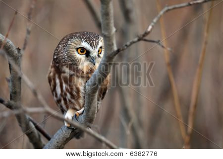 Wild Northern Saw-Whet Owl perching in a sumac tree. poster