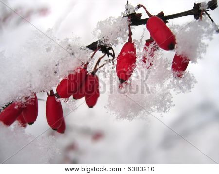Barberries In The Snow