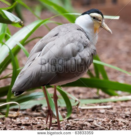 The Masked Lapwing (vanellus Miles),previously Known As The Masked Plover And Often Called The Spur-