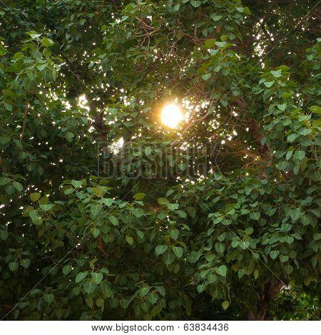 Cordate Tree
