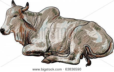Resting White Cow,american Brahman