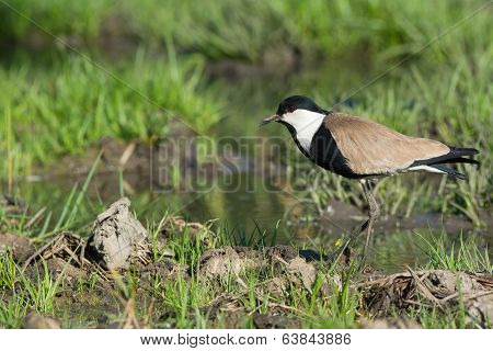 Spur-winged Lapwing (vanellus Spinosus) On A Grassy Bank In A Marsh
