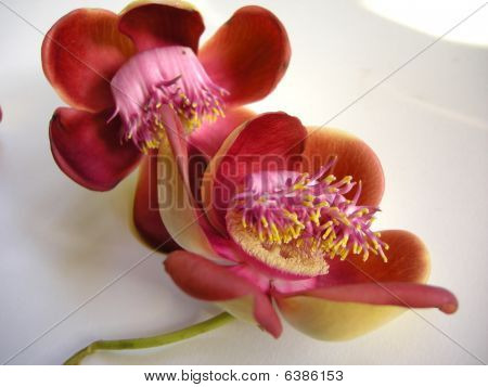 Cannonball Flower Four