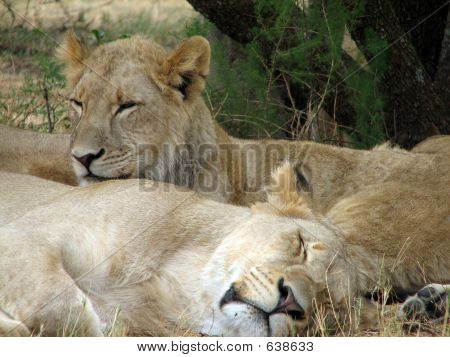 Two Lion cabs under a tree. poster