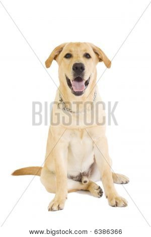 golden retriever posing in studio. Isolated on white poster
