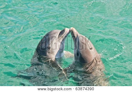 Two Dolphins Kissing